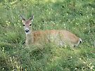 Doe Relaxing in Tall Grasses by Barberelli