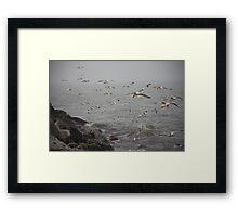 A flock of Seagulls feeding Framed Print
