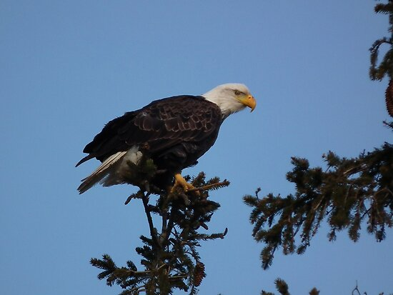 Bald Eagle Looking at You by Deb Fedeler