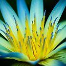 Blue Lotus of Egypt, Adelaide Botanic Gardens by Elana Bailey