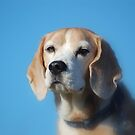 Beagle Eyes by FelicityB