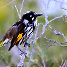 north head manly - little quick honeyeater by miroslava
