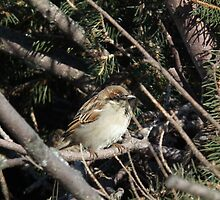 Little Bird Amongst Pine Boughs by Deb Fedeler