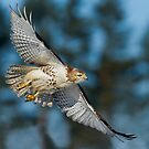 Hawk Fly By by Daniel  Parent