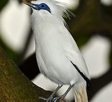 Bali Starling by neil harrison