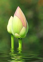 Budding Lotus Flower by Kathy Baccari