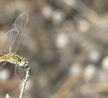 Bokeh Dragonfly by Occlusion