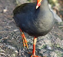 Swamp Hen by STHogan