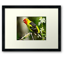 Western Tanager on it's Spring Migration  Framed Print