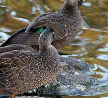 Preening Ducks by STHogan