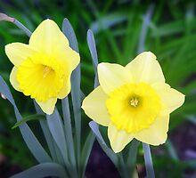 Daffodils by Darren Speedie