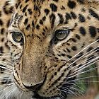 Amur Leopard by Dave Tucker