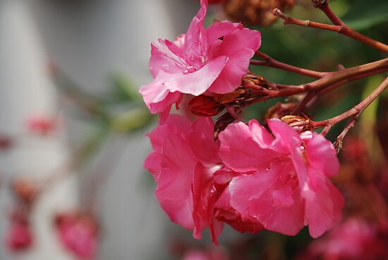 Oleander in the breeze by gogston