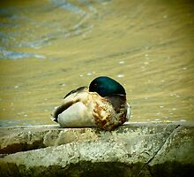 Sleeping Drake Mallard by Thomas Young