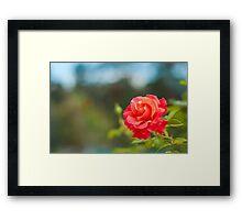Firestar Rose Framed Print