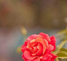 Firestar Rose by PhysioDave