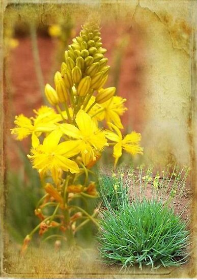 Bulbinella (Bulbine frutescence) by Maree Clarkson