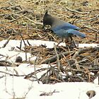Steller's Jay ~ Deschutes National Forest ~ Bend, Oregon  by Kimberly P-Chadwick