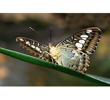 Under my Wings Clipper - Parthenos sylvia Photographic Print