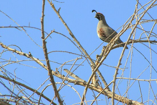 Gambel&#x27;s Quail ~ Male by Kimberly P-Chadwick