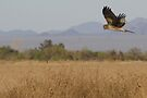 Northern Harrier ~ Searching for supper by Kimberly Chadwick