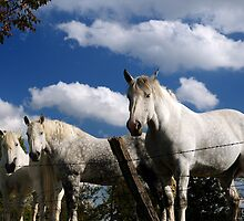 Amish work horses at rest by woodnimages