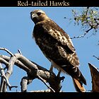 Red-tailed Hawks  by Kimberly Chadwick