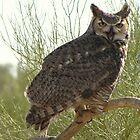 Great Horned Owl ~ Captive (4yrs) by Kimberly P-Chadwick