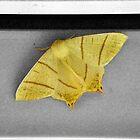 Moth by NuttyRachy