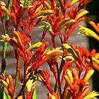 Kangaroo Paw Design by Margaret Saheed