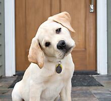 Inquisitive Yellow Lab Puppy by baileyandbanjo