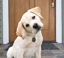 Inquisitive Yellow Lab Puppy by baileyandbanjo