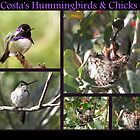 Costa's Hummingbirds & Chicks by Kimberly Chadwick