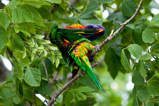Lorikeet by Margot Kiesskalt