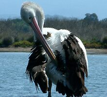 Pelican at Mallacoota Vic by OzNatureshots