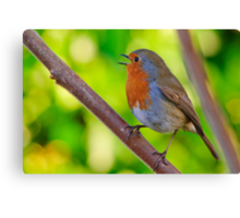 Robin in full song Canvas Print