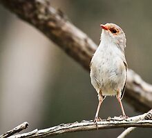 Fairy Wren, Bournda National Park by Cate O'Donnell