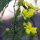 Hibbertia riparia by Liz Worth