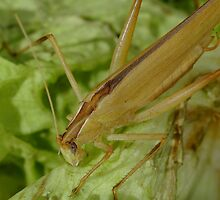 grass hopper in creamcolor by Martina  Stoecker