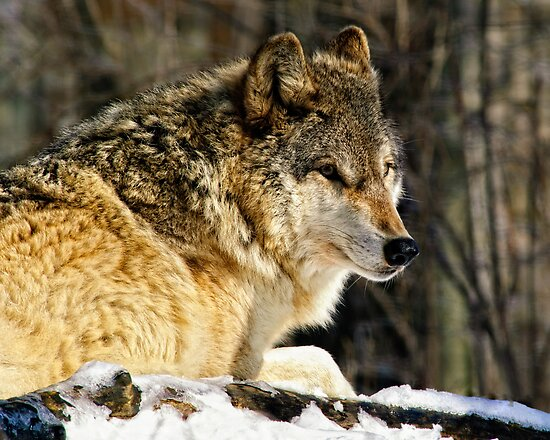 Timber Wolf by woodnimages