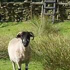 Yorkshire Sheep by redown