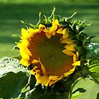 Blooming Sunflower by Crystal Zacharias