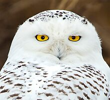 Snowy Owl Portrait by Jim Stiles