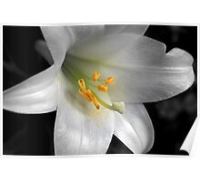 Lily & Yellow Stamen (Mendel) Poster