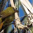Summer Tanager ~ Female by Kimberly Chadwick