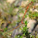 DameselFlies ~ Desert Firetail pair copulating by Kimberly Chadwick