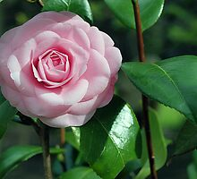 Pink Camelia by Fiona Allan Photography