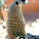Meerkat by Bailey Designs