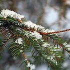 Snow on a pine tree by Jason Gleeson