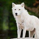 Arctic Wolf by Yannik Hay